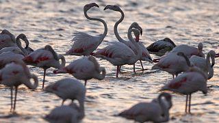 Spektakuläre Dronenaufnahmen: Flamingo-Schwarm in Kasachstan