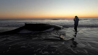 Baleia libertada de praia argentina