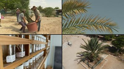 The date palm tree born from a 2000-year-old seed