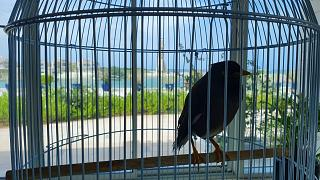 Juji the mynah bird installed at the French Embassy in Abu Dhabi