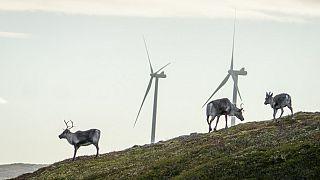 Reindeer roam around the wind turbines at Storheia wind farm.