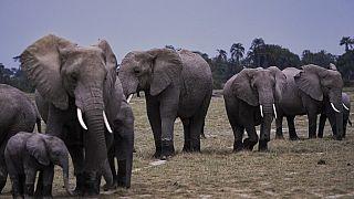 Liberia : deux hommes arrêtés pour avoir tué des éléphants