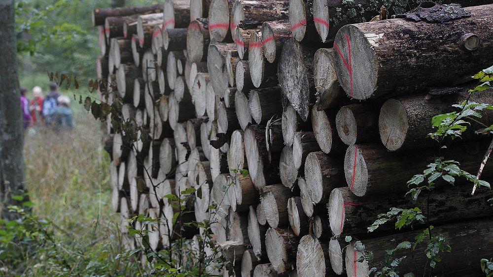 Los ecologistas polacos protestan mientras se reanuda la tala en el bosque de Bialowieza