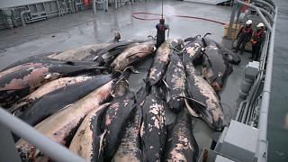 Félszáz bálnatetem Izlandon