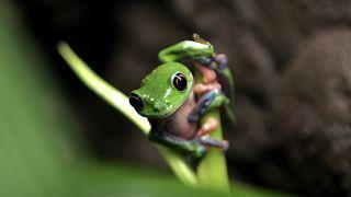 Una Agalychnis annae en peligro de extinción, conocida comúnmente como rana de hoja azul, 21/10/2009, Heredia, Costa Rica