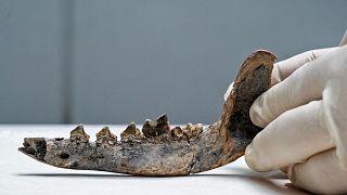 بقایای یافت شده از یک فک حیوانی در کاستاریکا