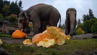 Слоны играют с тыквами