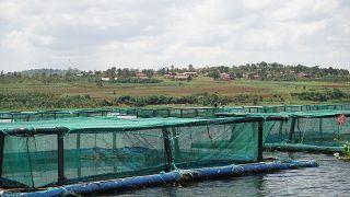 En Ouganda, la surpêche engendre des alternatives plus sûrs