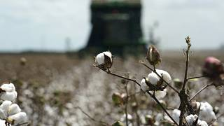 Plentiful cotton harvest spells trouble for Egypt's food security