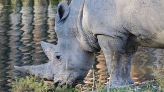 Northern white rhino retired from world-first breeding project