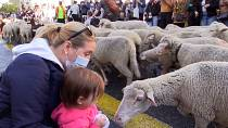 Annual sheep march gathers crowds in Madrid