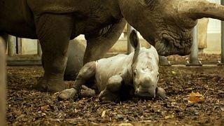 Baby rhino takes first shaky steps at Royal Burgers' Zoo