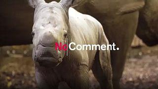 Nace un rinoceronte blanco en Arnhem