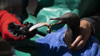 Bird flu strikes endangered South African cormorants