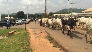 Herders disregard restrictions on open grazing