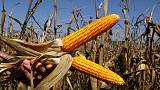 Exclusive - Vomitoxin makes nasty appearance for U.S. farm sector