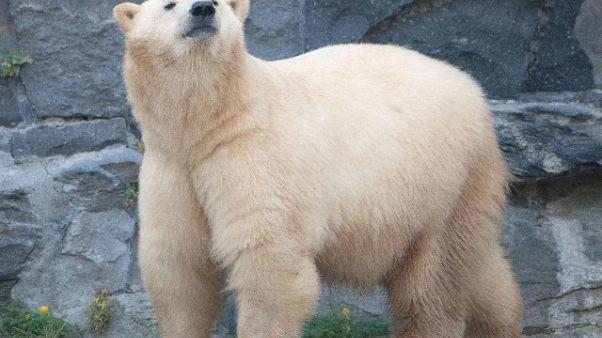 Confederations:orsa zoo Mosca 'tifa' CR7