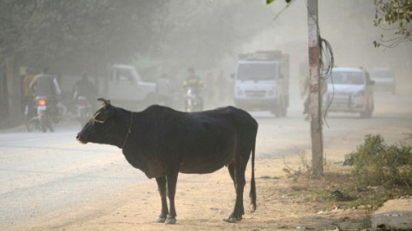 Inde: Modi condamne les lynchages liés à la vache sacrée