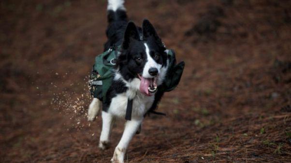 Une mission pour les chiens au Chili: semer sur les terres calcinées