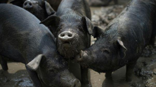 En Chine, des élevages porcins plus gros face au yoyo des prix