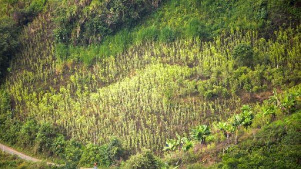 Colombie: hausse de plus de 50% des plantations de coca