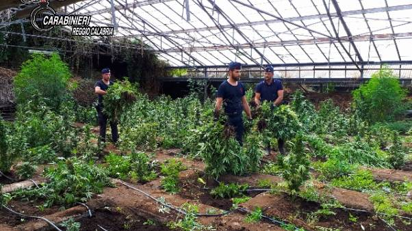 Trovate nel reggino 12000 piante canapa