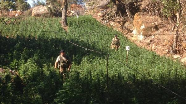Maxi piantagione cannabis da 1mln euro