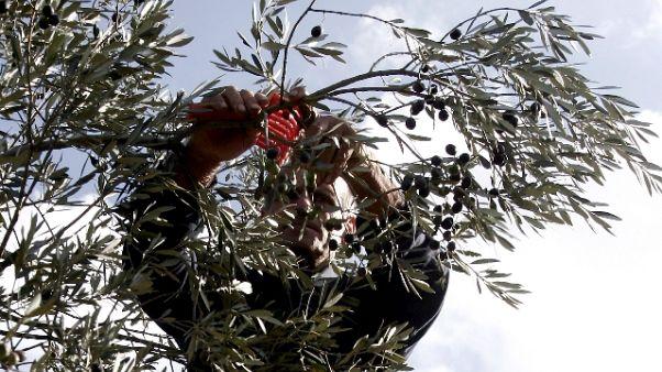 Assenteismo: malati raccoglievano olive