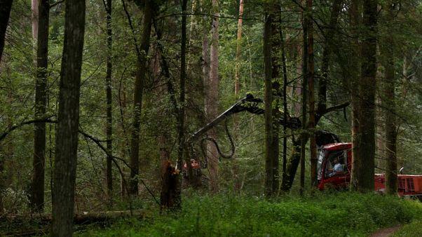 Activists accuse Poland of logging in ancient forest despite EU order
