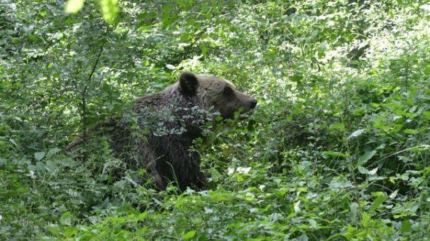 Abbattuta in Trentino orsa KJ2