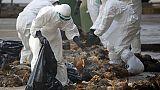Aviaria, 500mila galline abbattute