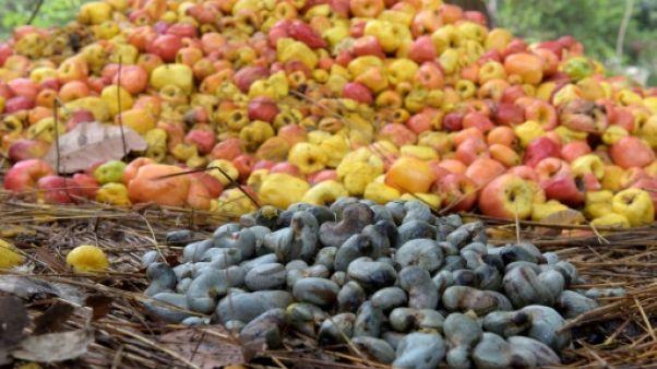 La Guinée-Bissau engrange les fruits d'un cajou mieux payé aux paysans