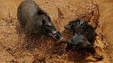 Bloody spectacle - Indonesian villages pit wild boars against dogs