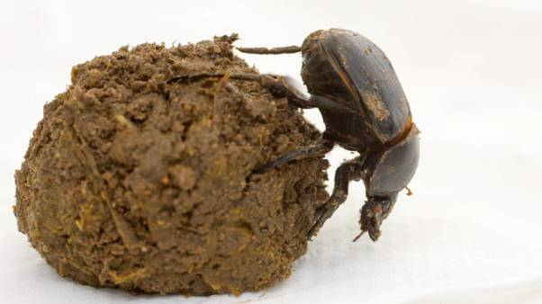 'Save the dung beetle!' Global science chief says biodiversity vital
