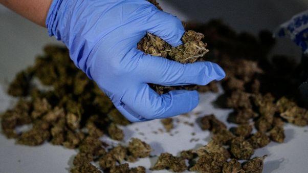 Sequestrate due tonnellate di marijuana