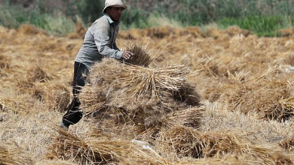 مصر تتسلم 70% من 4 ملايين طن تستهدف جمعها من محصول القمح المحلي