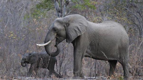 فيل وصغيره بمتنزه وطني في زيمبابوي - أرشيف رويترز