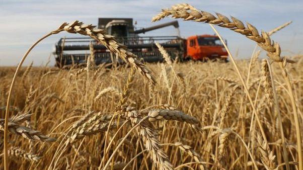 حقل مزروع بالقمح في روسيا. أرشيف رويترز