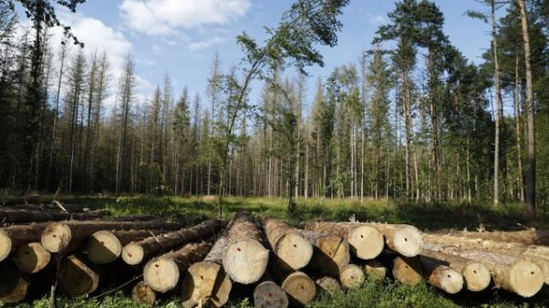 FILE PHOTO: Logged trees are seen after logging at one of the last primeval forests in Europe, Bialowieza forest, Poland August 29, 2017. REUTERS/Kacper Pempel