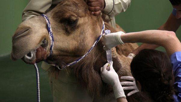 مستشفى لعلاج الإبل في دبي بأحدث المعدات الطبية