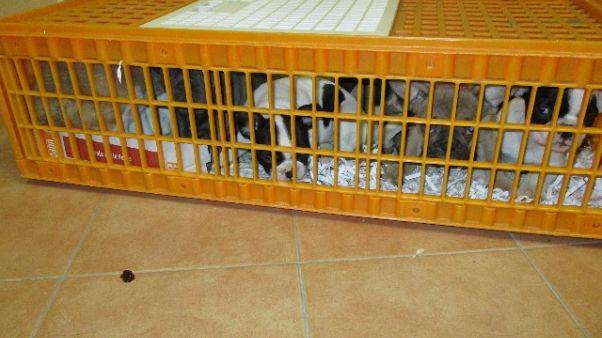 Sequestrati 65 cuccioli cane lungo A23