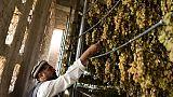 Les raisins d'Afghanistan, d'or et de poussières