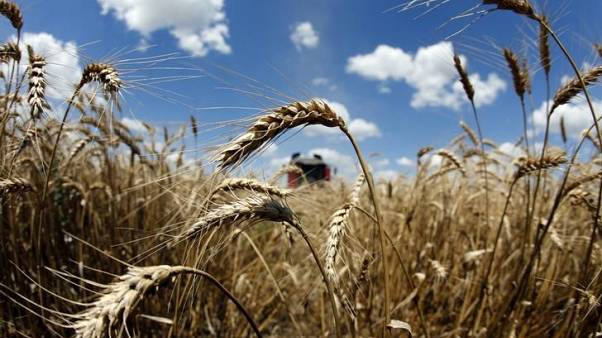 تجار: الأردن يشتري 50 ألف طن من القمح في مناقصة