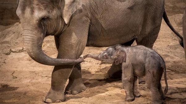 حديقة حيوان في بلجيكا تستقبل فيلا صغيرا يوم عيد الميلاد