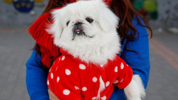 مع بدء عام الكلب بالصين.. الكلب البكيني الإمبراطوري أصبح نادر الوجود