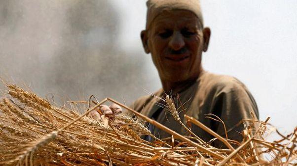 مصر تحدد سعر شراء القمح المحلي في مارس