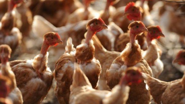 Pays-Bas: un foyer de grippe aviaire détecté, 36.000 poules condamnées