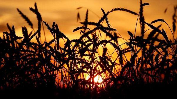 أسعار القمح الروسي ترتفع مع صعود مؤشرات قياسية عالمية وقوة الروبل