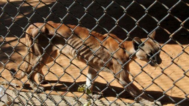 Dans un zoo du Venezuela, des pumas affamés et des cochons sacrifiés