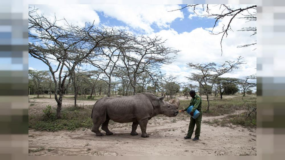 After health scare, world's last male northern white rhino on the mend |  Euronews